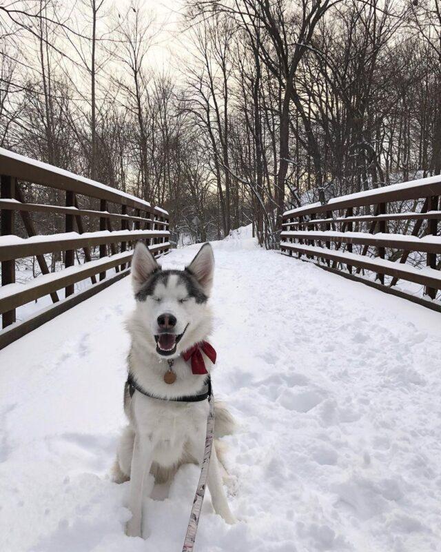 Husky on snowy bridge