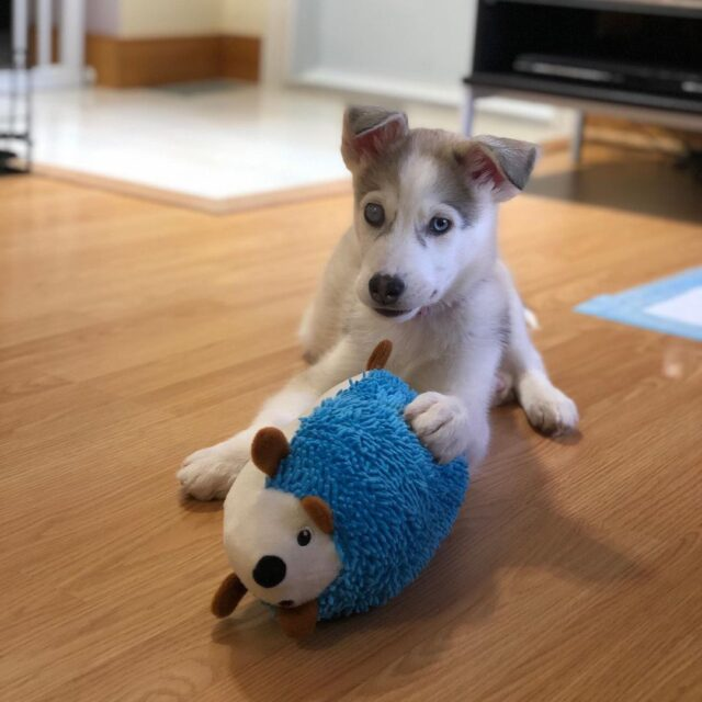 Husky puppy with toy