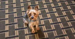 Lost Yorkie Adopted