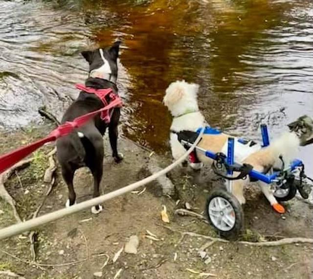 Paralyzed dog walking