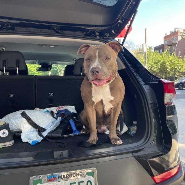 Pit Bull Stolen From Hotel