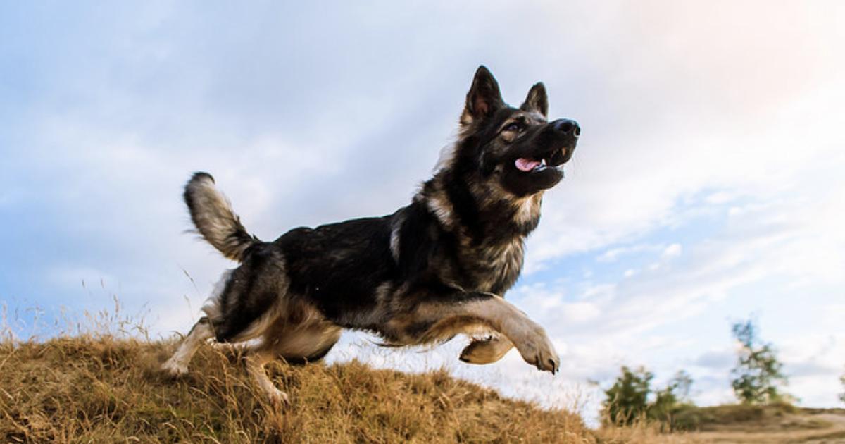 Popular Herding Dogs