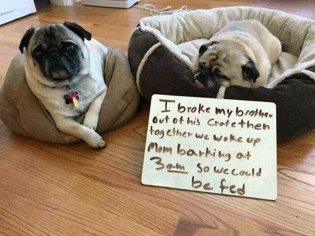 Pug brothers escape