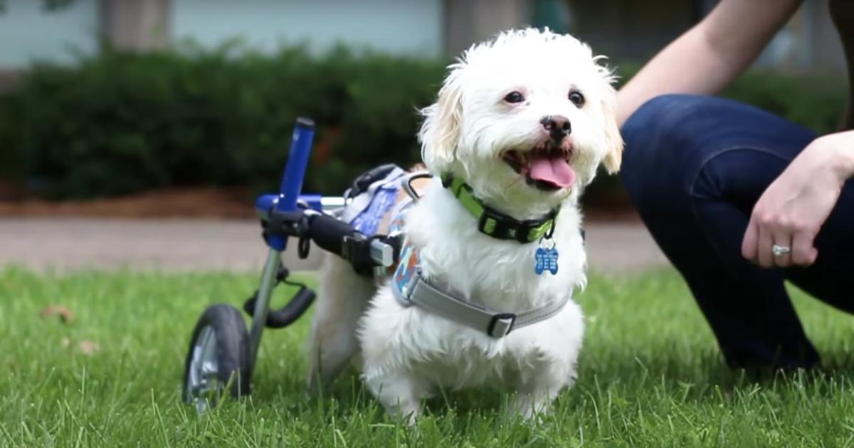 Teddy paralyzed dog