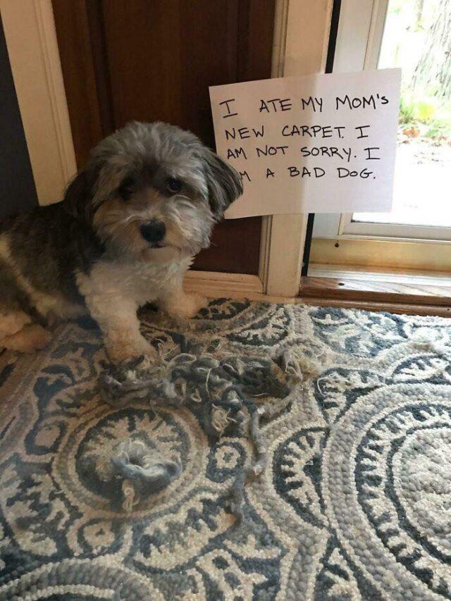 Guilty dog eats carpet