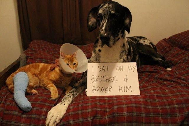 Dog sits on cat