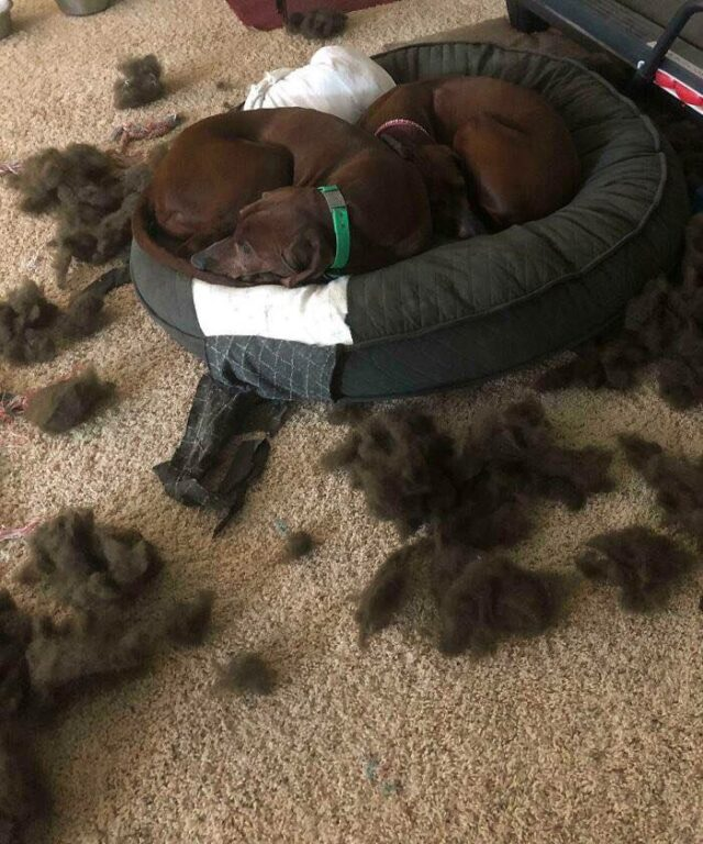 Dogs sleeping in ripped bed
