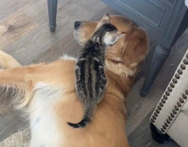 golden and kitten