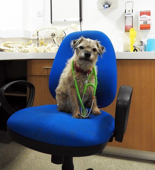 Border Terrier Helping Vet