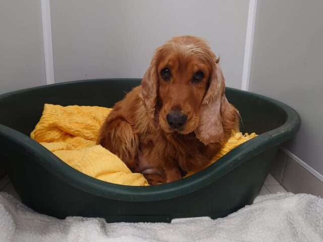 Cocker Spaniel with bite wounds