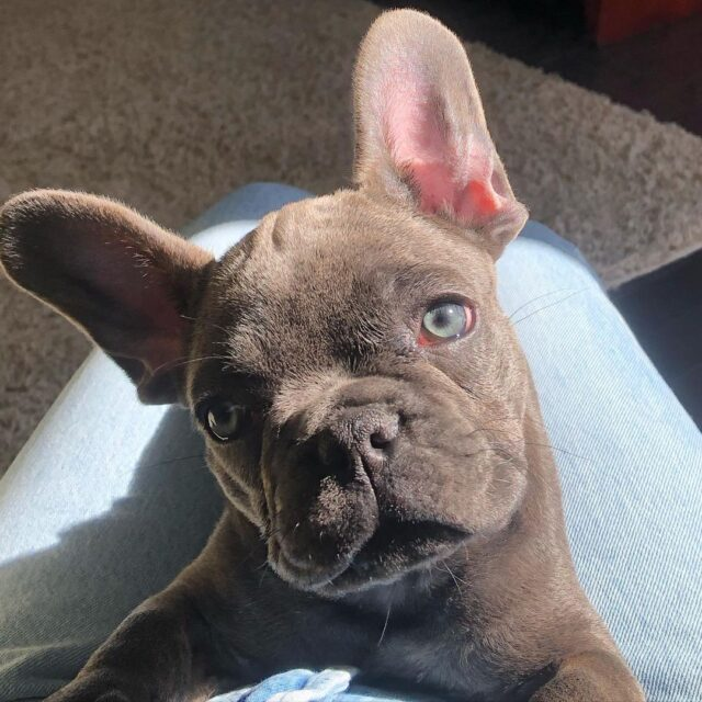 Cute Frenchie Face