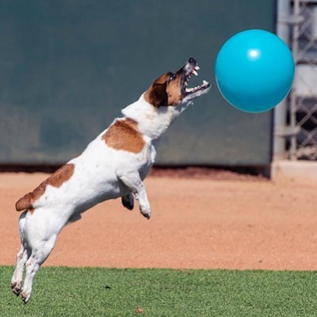 Dog popping balloon
