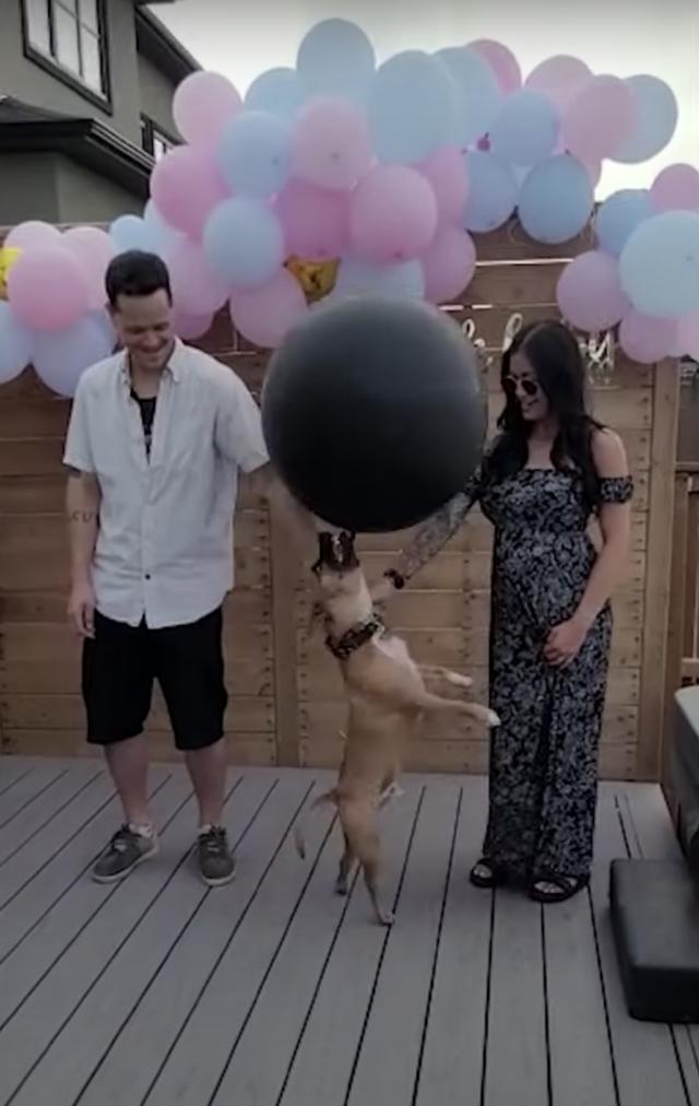 Dog pops gender reveal balloon