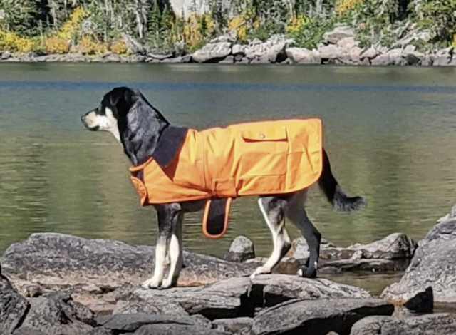 Dog wearing orange rain jacket