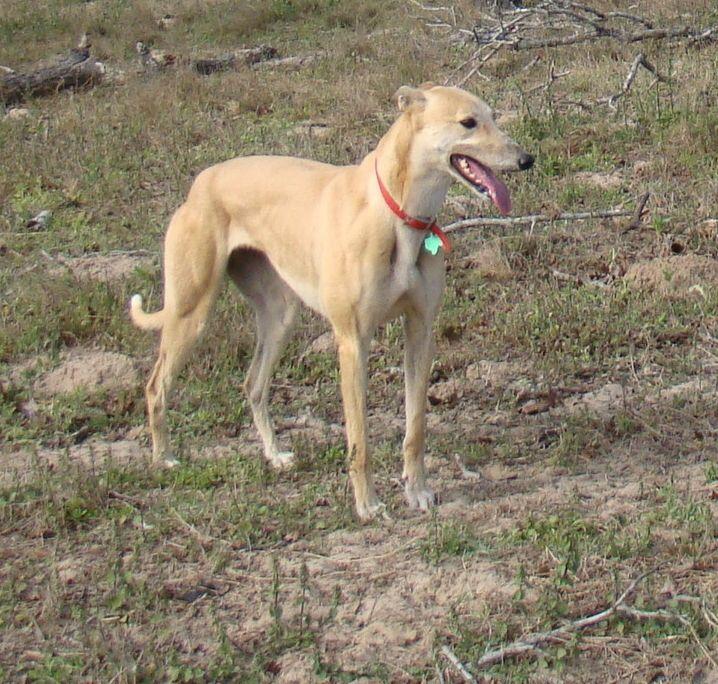 Donna the Greyhound