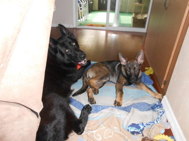 German Shepherd adult and puppy
