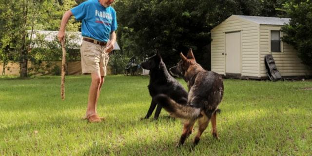 German Shepherds playing fetch