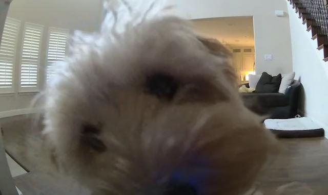 Goldendoodle licking camera