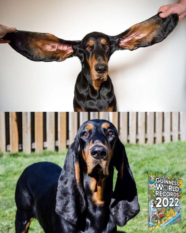 Longest dog ears record