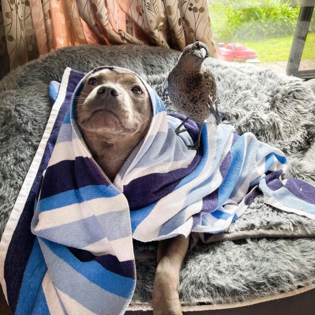 Under the pit bull and magpie towel.