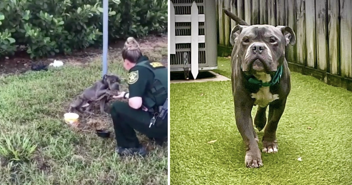 Pit Bull tied to pole