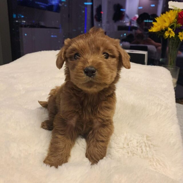 Puppy with brown coat