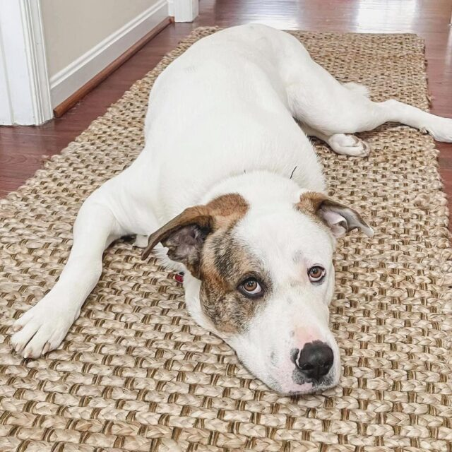 Rescue Dog Great Pyrenees and Pit Bull mix