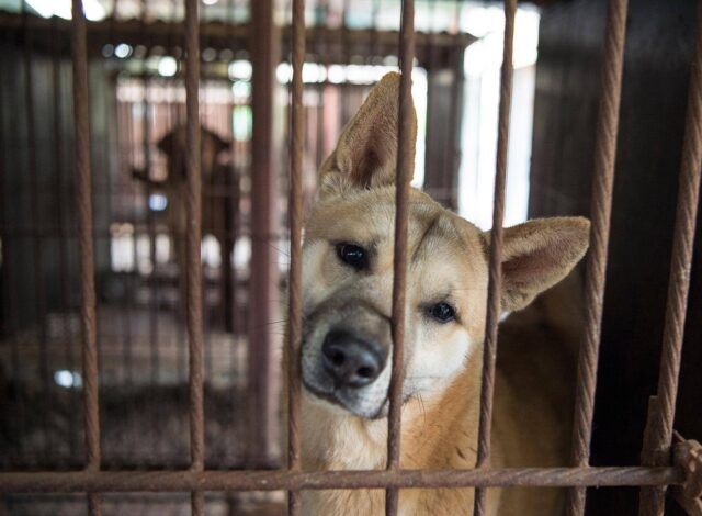 Save Dogs in South Korea
