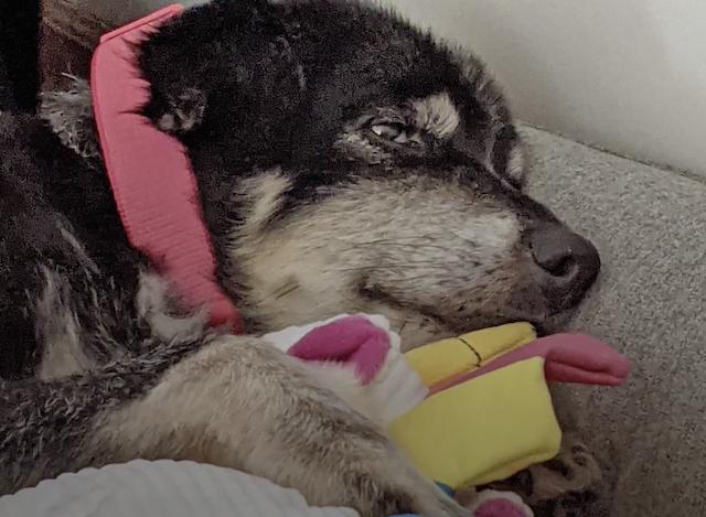Senior dog cuddling unicorn