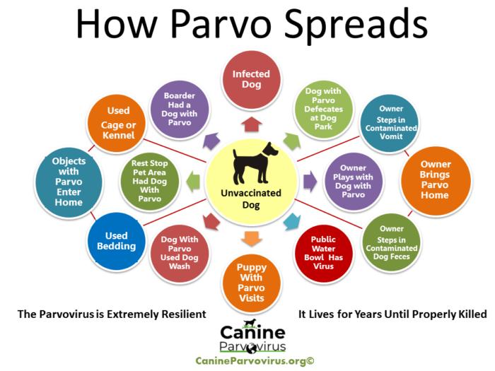 How Parvo Spreads