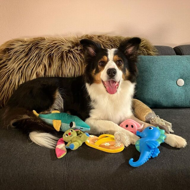 Border Collie with dog toys