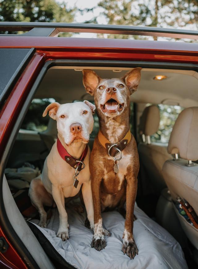 Dogs riding in a Subaru