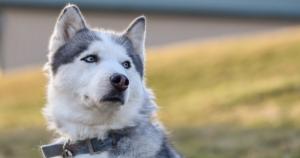 Husky Fromm Pet Food