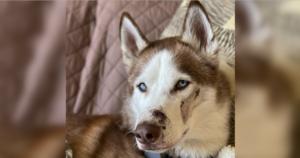 Husky injured by sitter