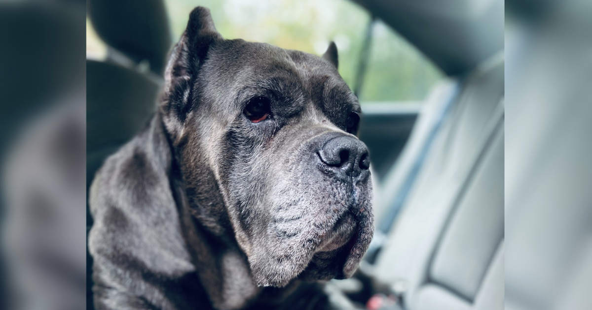Lost 150-Pound Mastiff