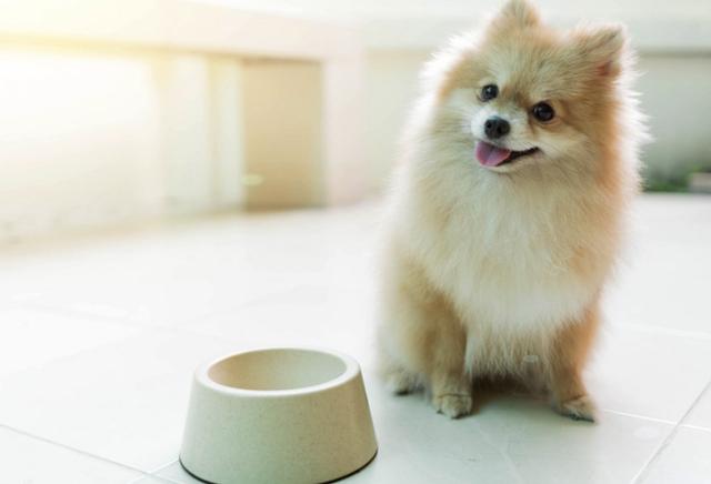Pomeranian by dog bowl