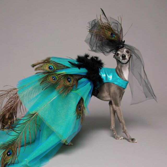 Tika peacock gown