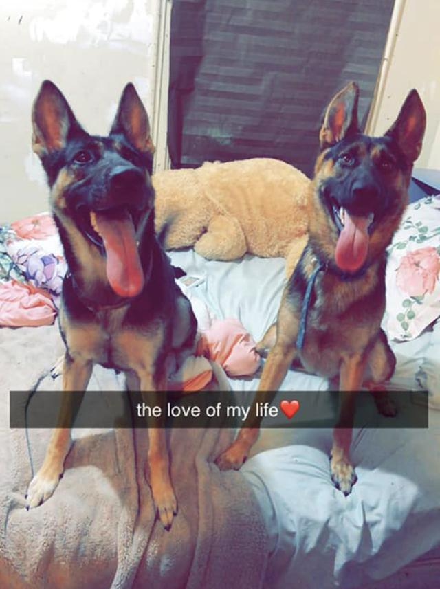 Two Happy German Shepherds