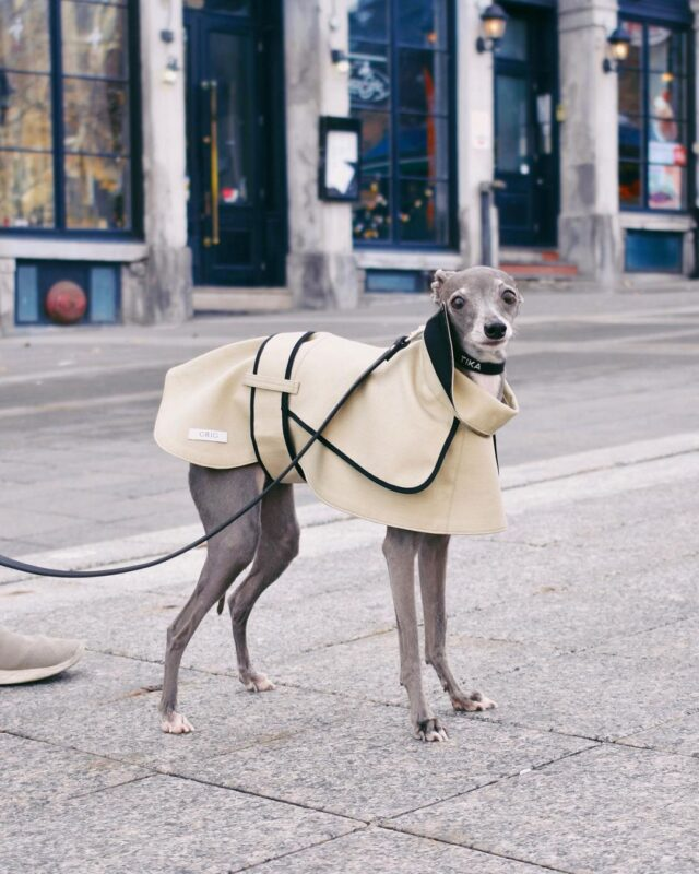 Well-dressed Italian Greyhound