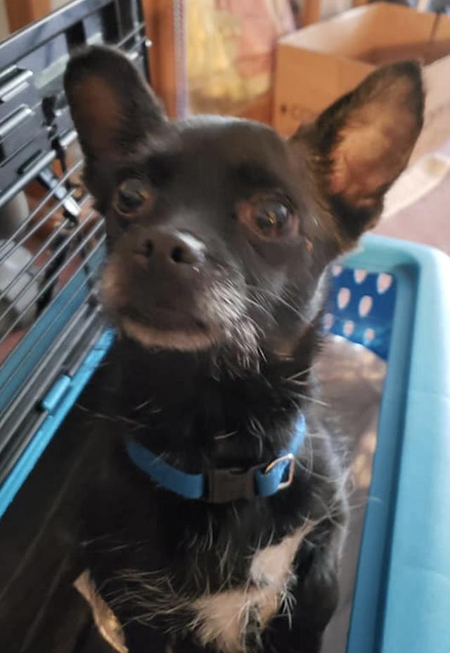 Yorden the Chihuahua
